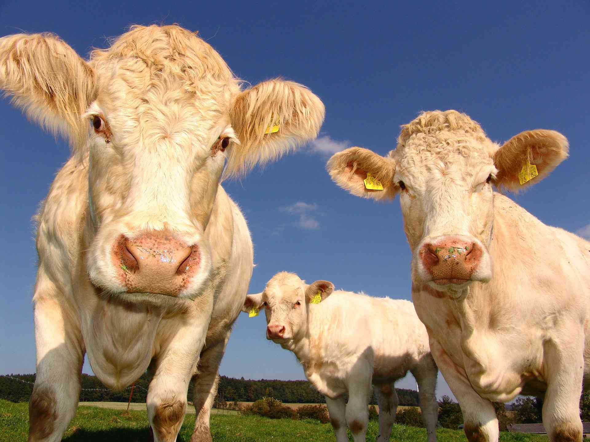 Close up of white cows on a farm looking at the camera.