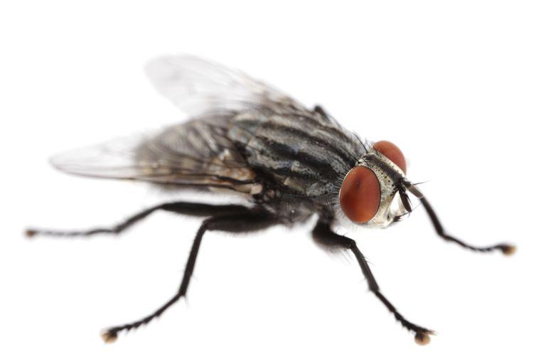 Flesh fly.