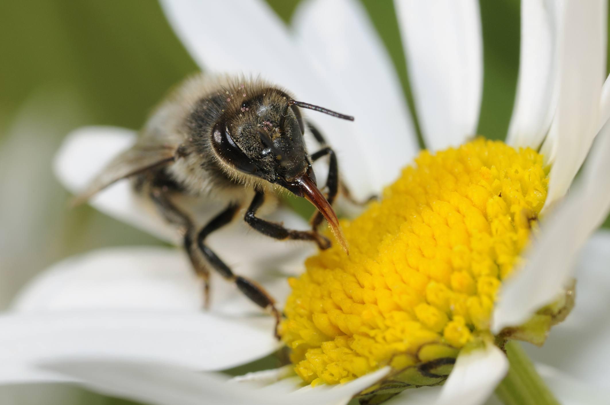 Honeybee gathering nectar from a daisy