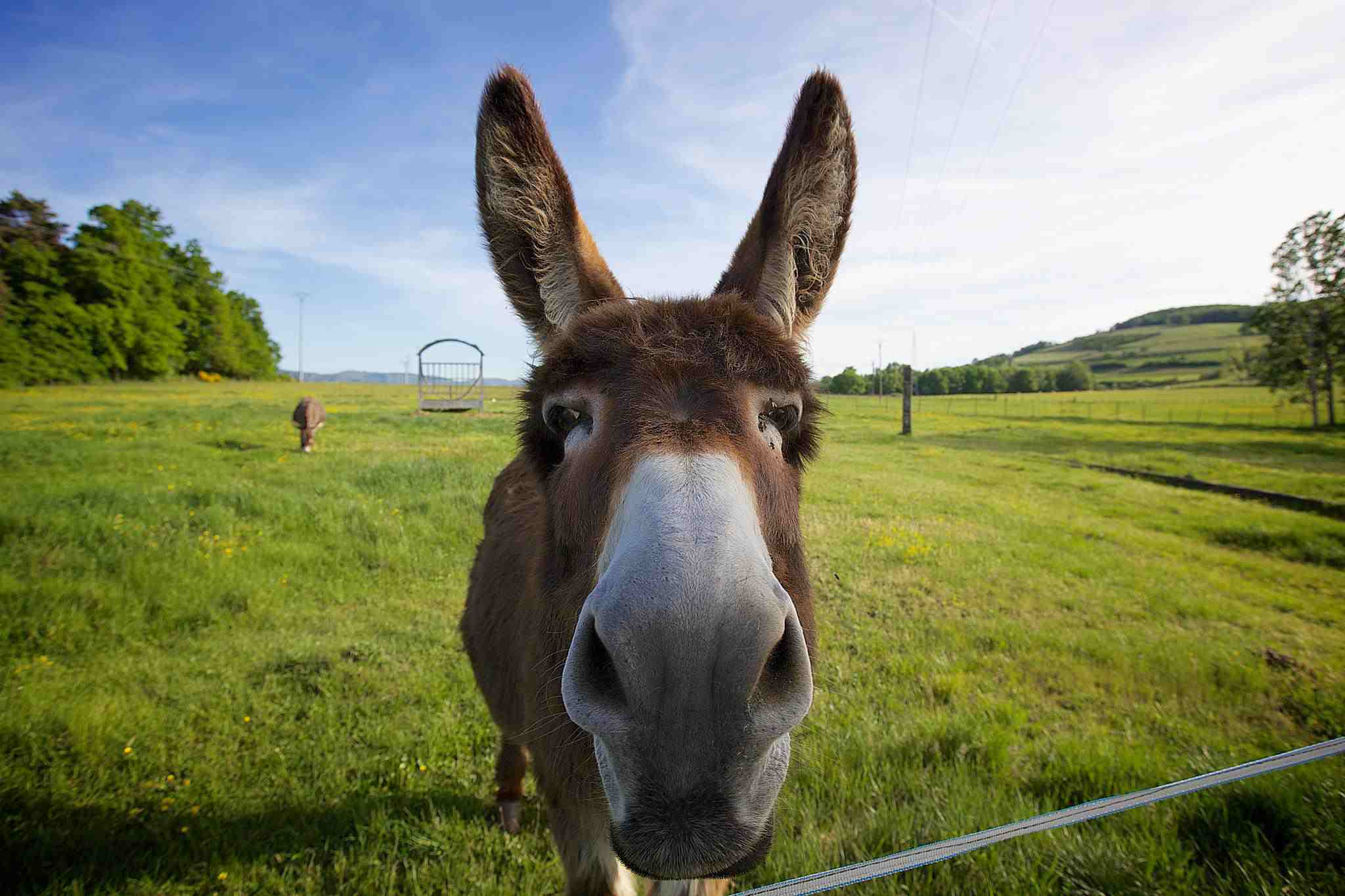 Donkey standing in field, nose toward camera.