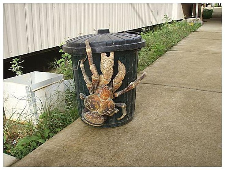 giant-coconut-crab-57bbf0cc3df78c8763928