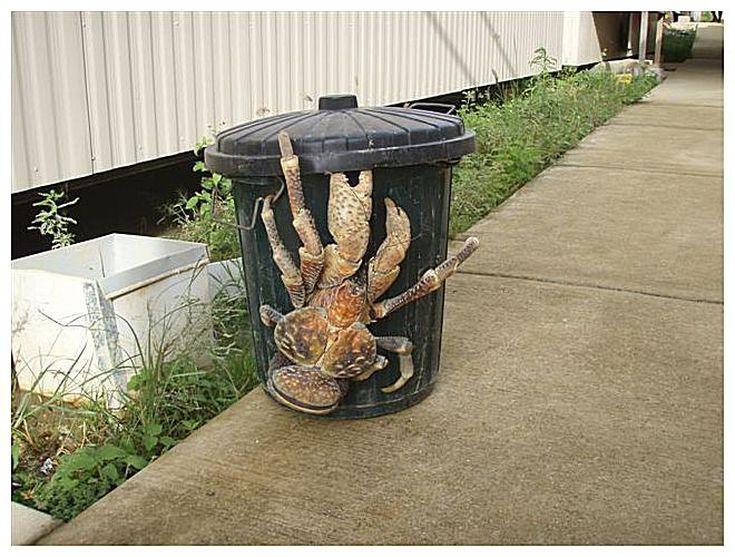 giant-coconut-crab-57bbf0cc3df78c8763928