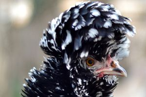 Polish Frizzle Hen