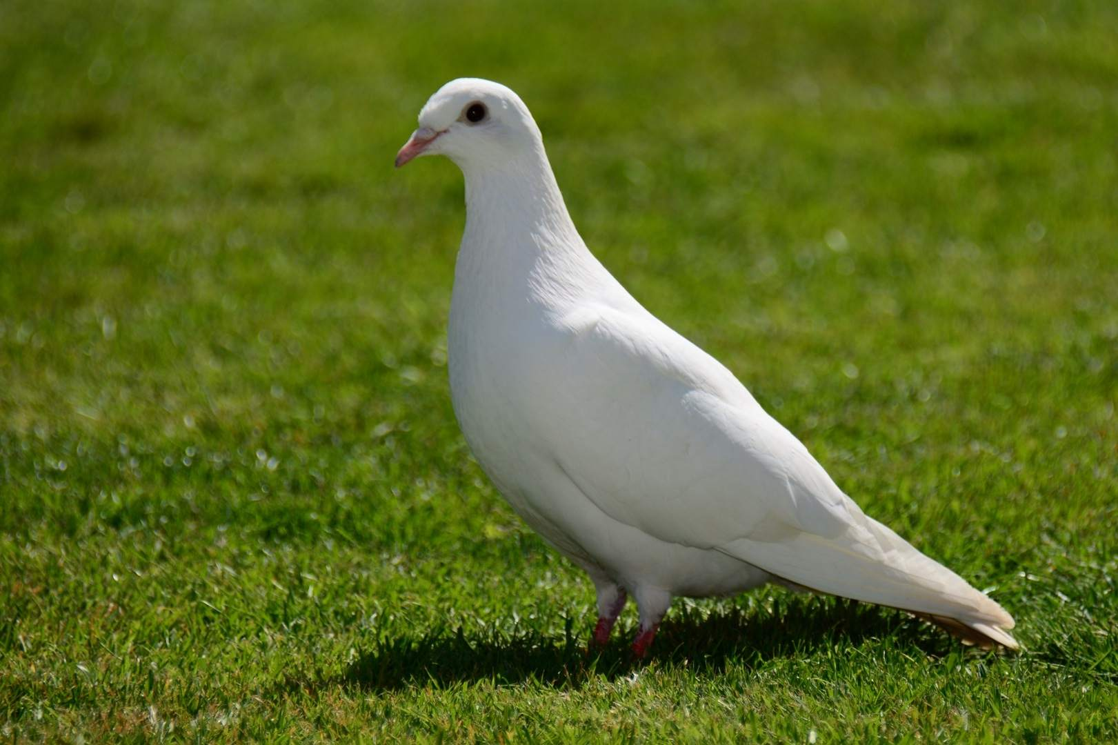 A dove is a type of columbiforme