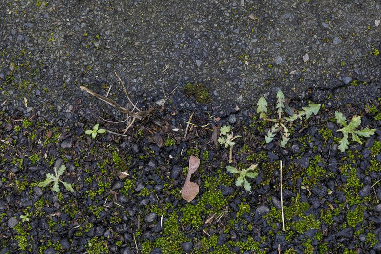 Moss colonizing asphalt