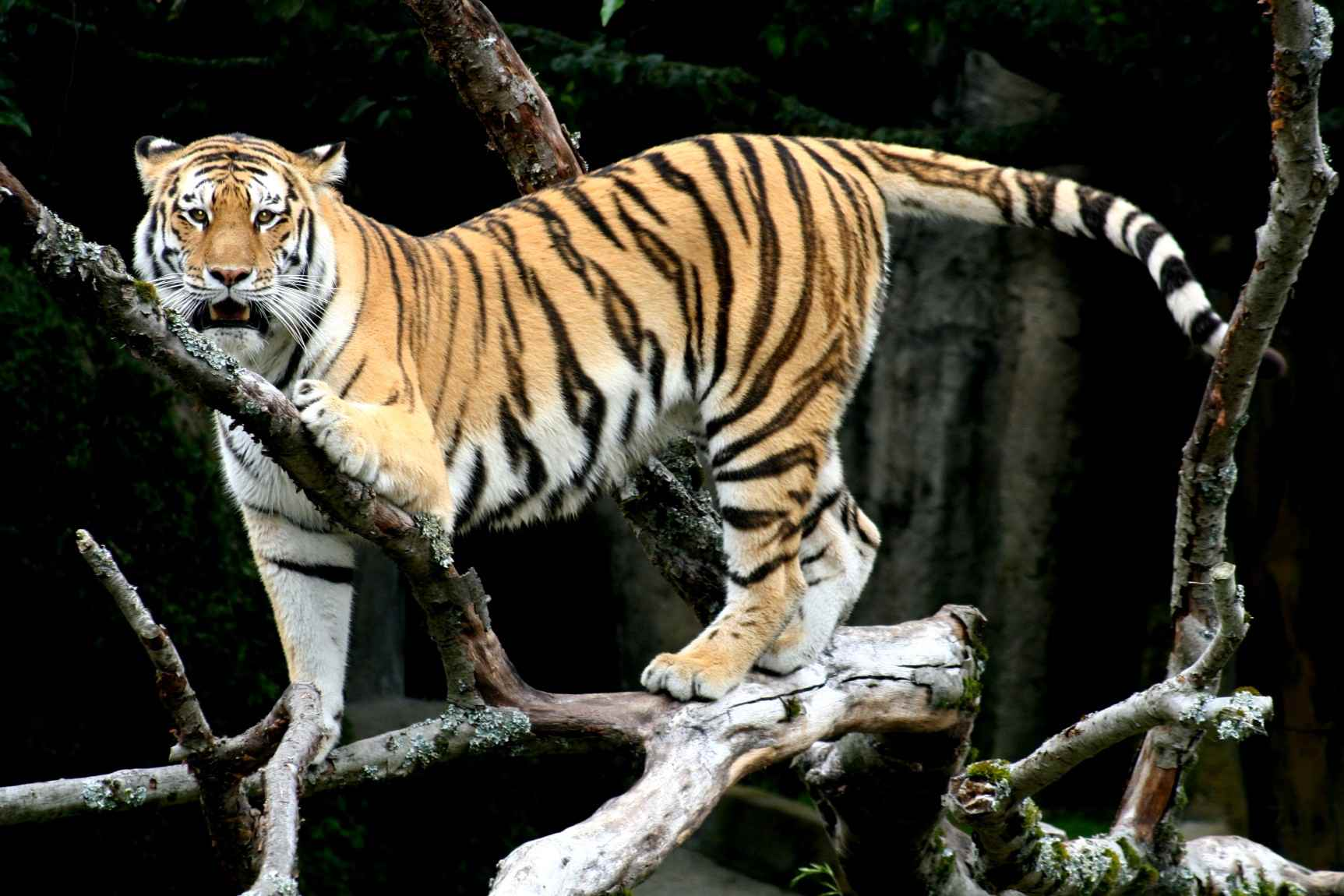 A siberian tiger gracefully steps through tree branches