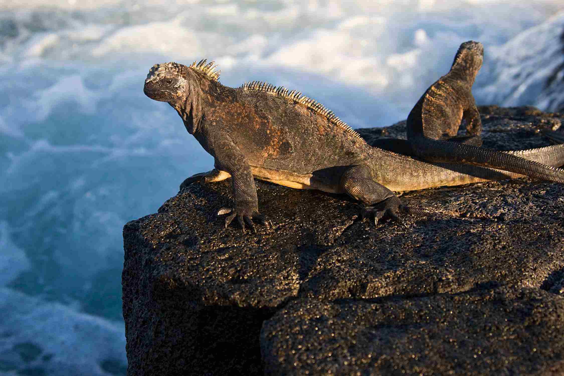 Marine iguana - Amblyrhynchus cristatus