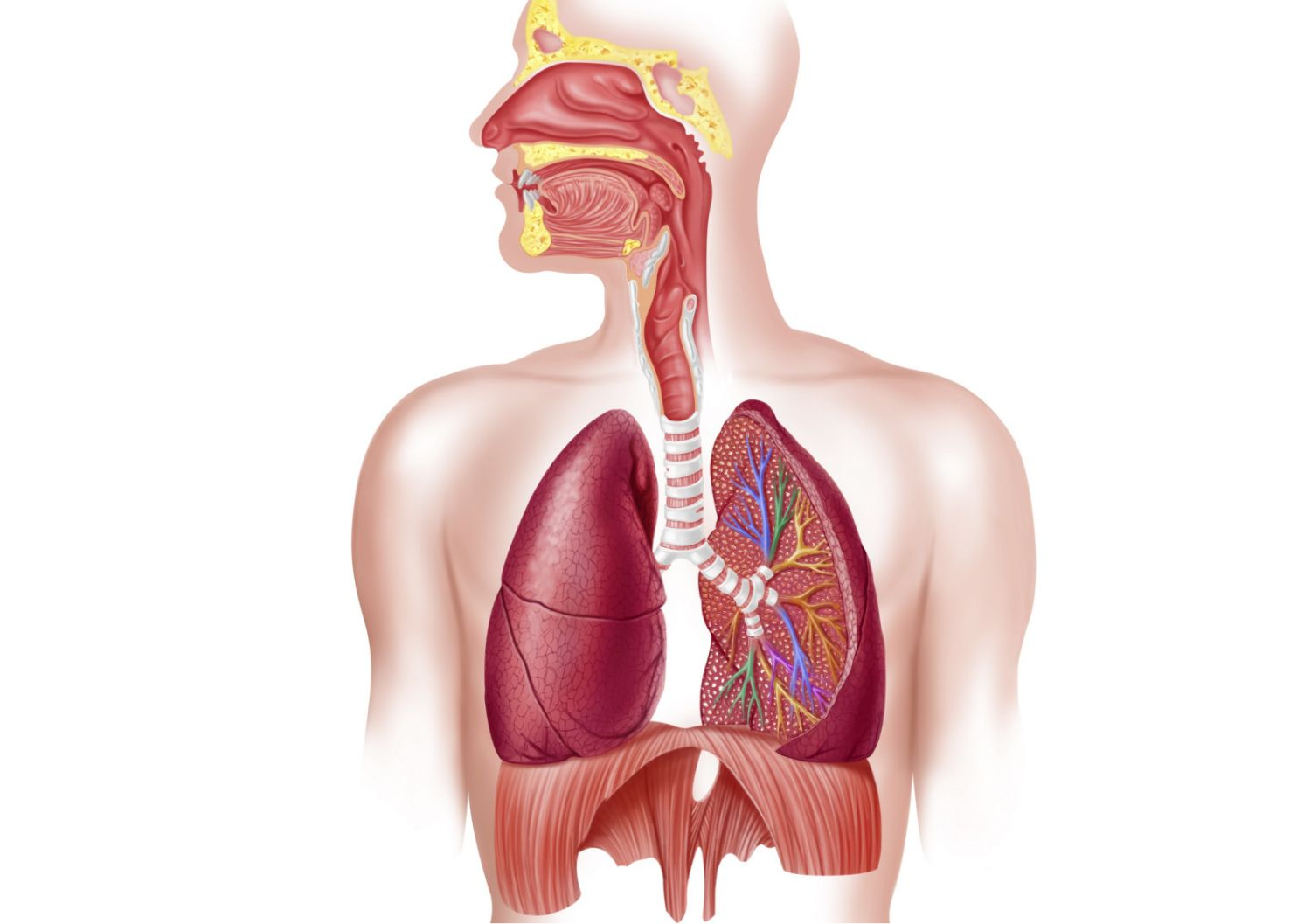 Respiratory system how we breathe ccuart Images