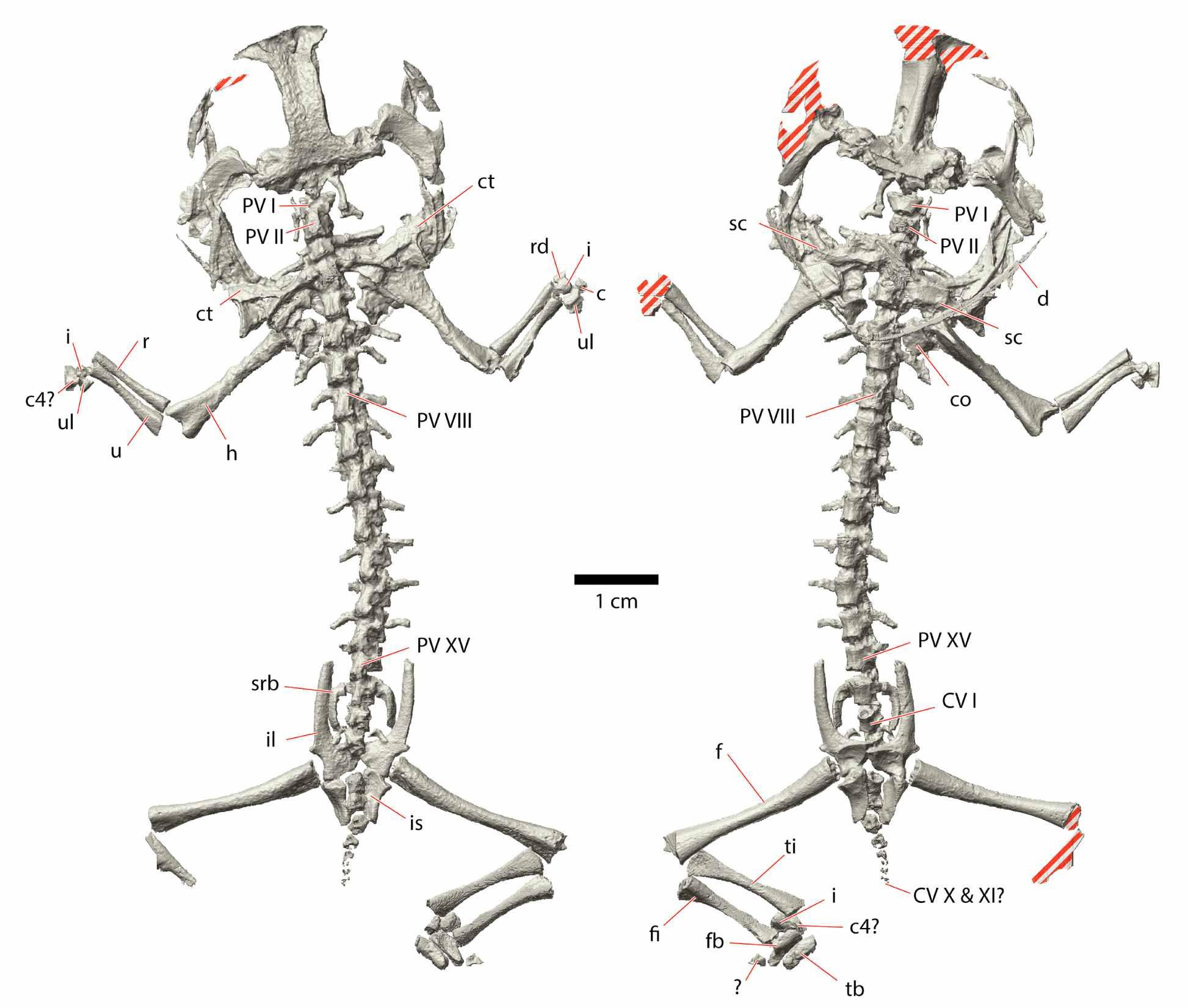Triadobatrachus CT scan