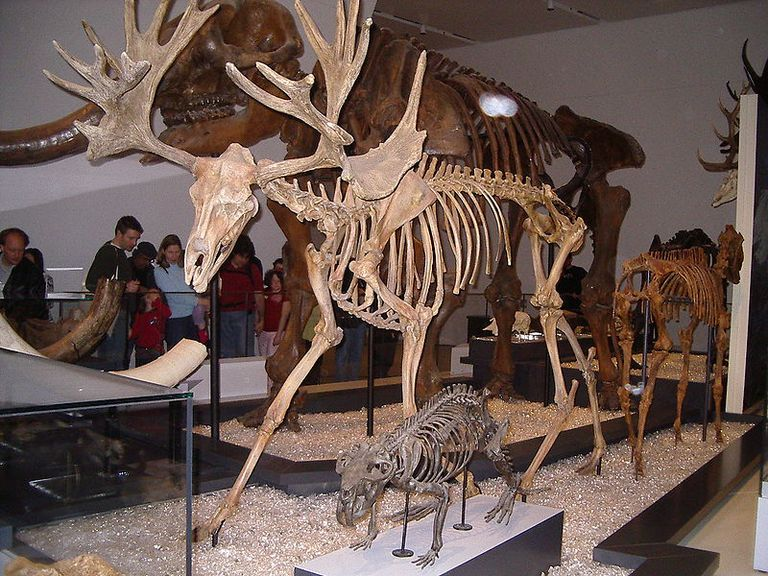 stag moose cervalces scotti