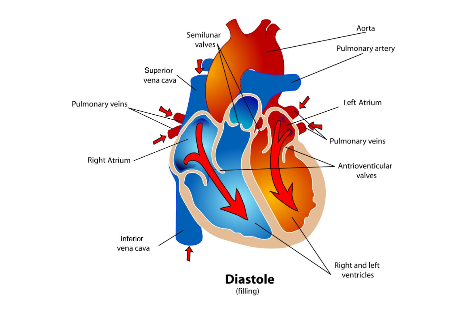 Phases Of The Cardiac Cycle When Heart Beats This Diagram Shows Muscles In During Diastole Phase