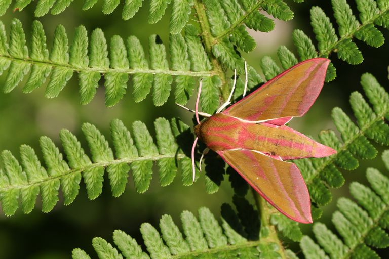 Elephant Hawk Moth Facts