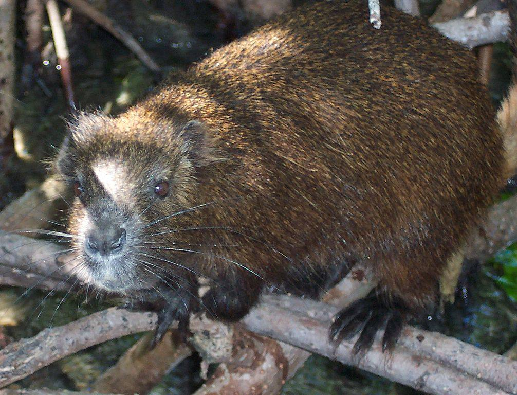 The Cuban Hutia, a close relative of the Puerto Rican variety