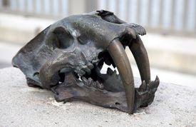 Skull of a saber-tooth tiger