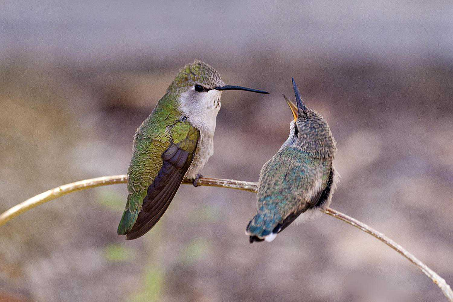 An adult female Costa's hummingbird with her young one