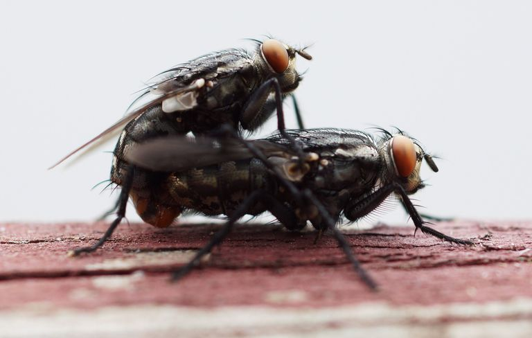 Two flies mating on wood