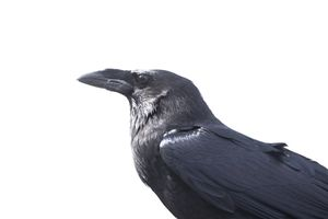 Crows are among the smartest animals.
