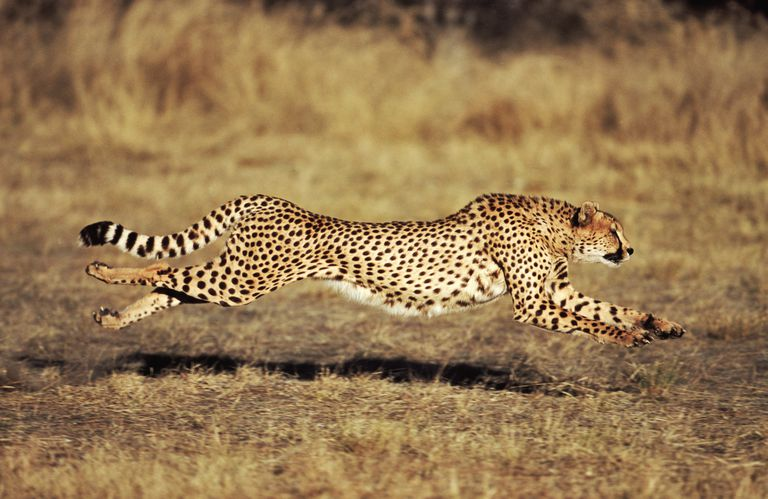 A cheetah leaves the ground between leaps when running.