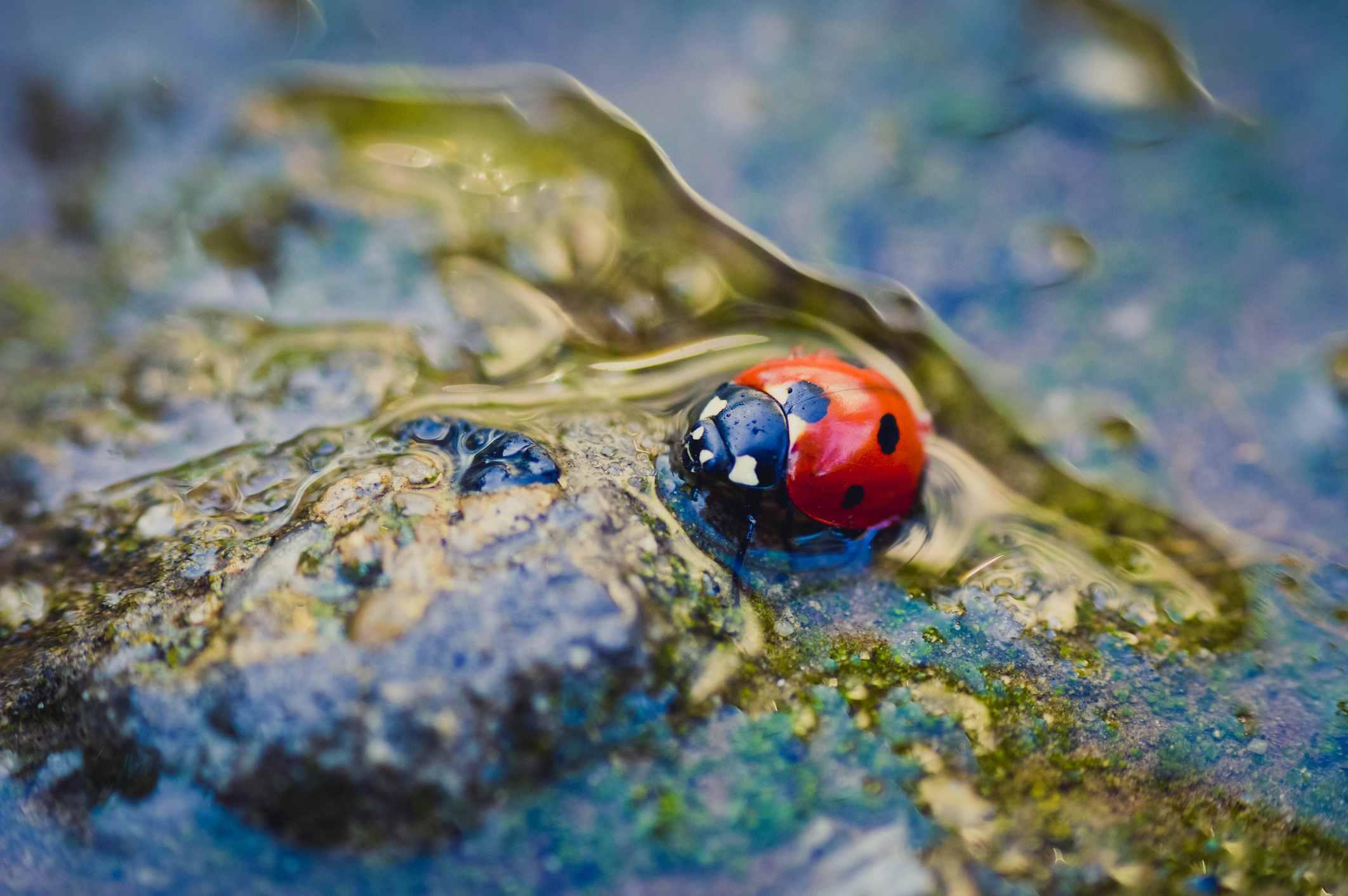 Ladybug in a puddle.