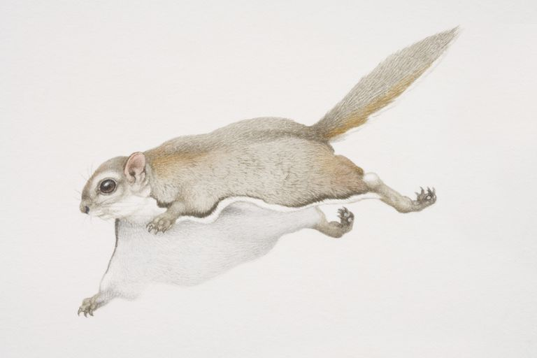 Glaucomys sabrinus, Northern Flying Squirrel leaping forward.