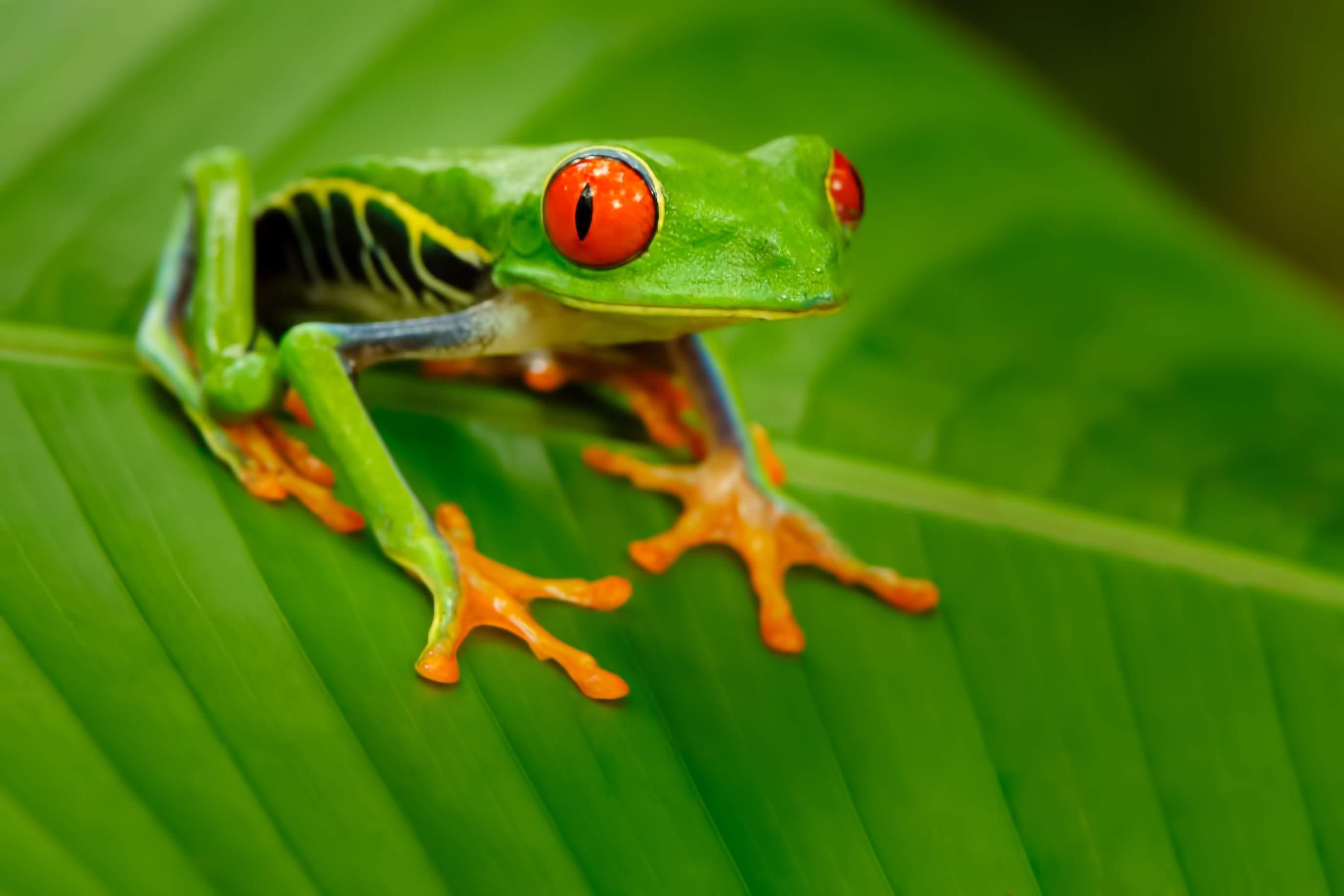 Red-eyed tree frog (Agalychnis callidryas) on leaf.
