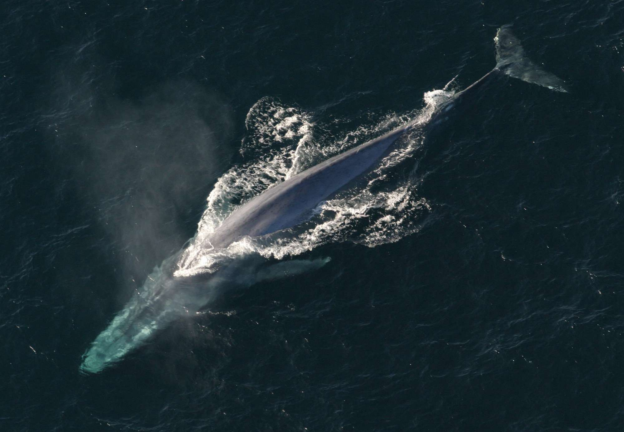 blue whale facts - HD 2000×1385