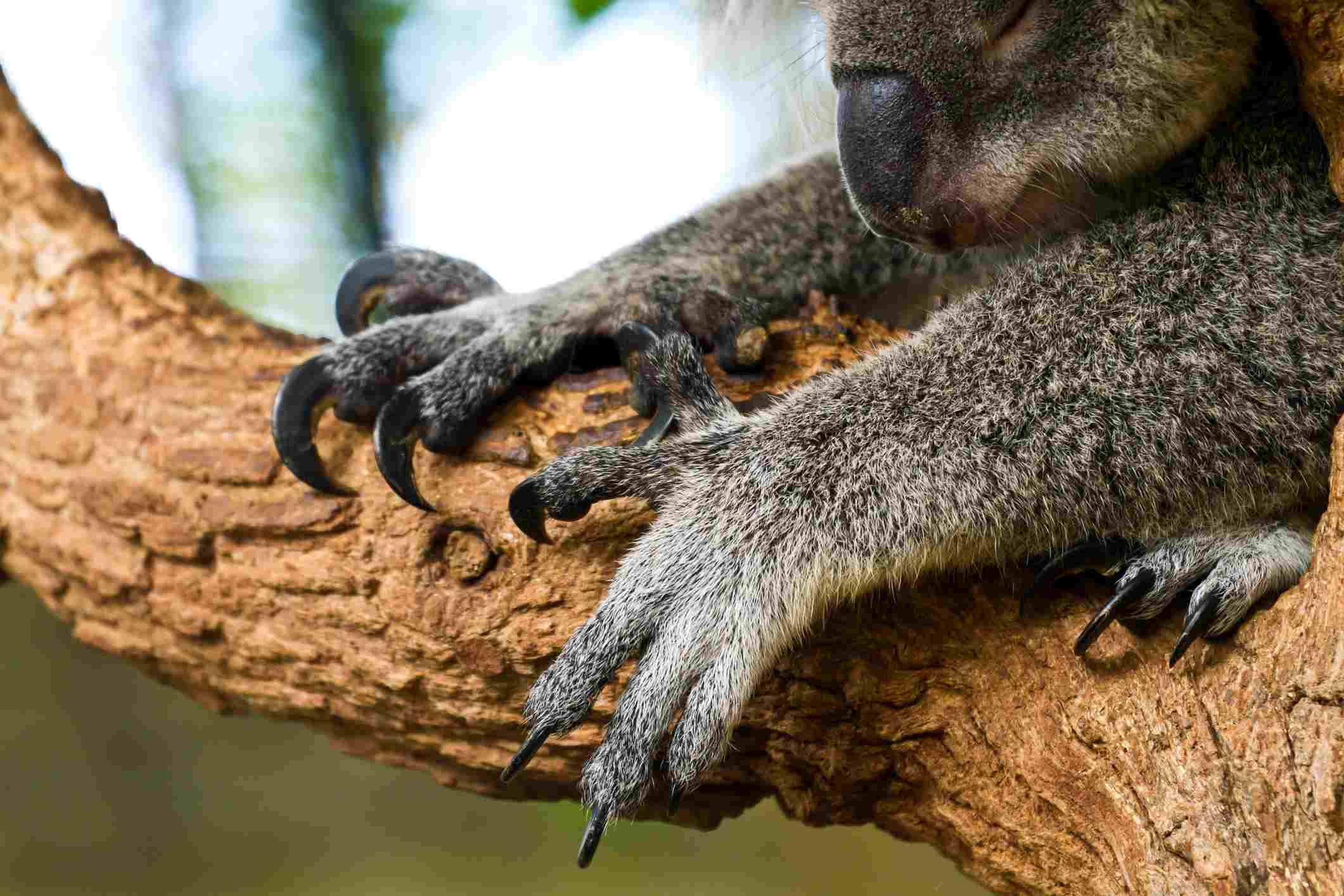 Koalas hand