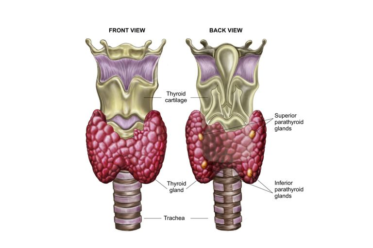 The Thyroid Gland in the Endocrine System