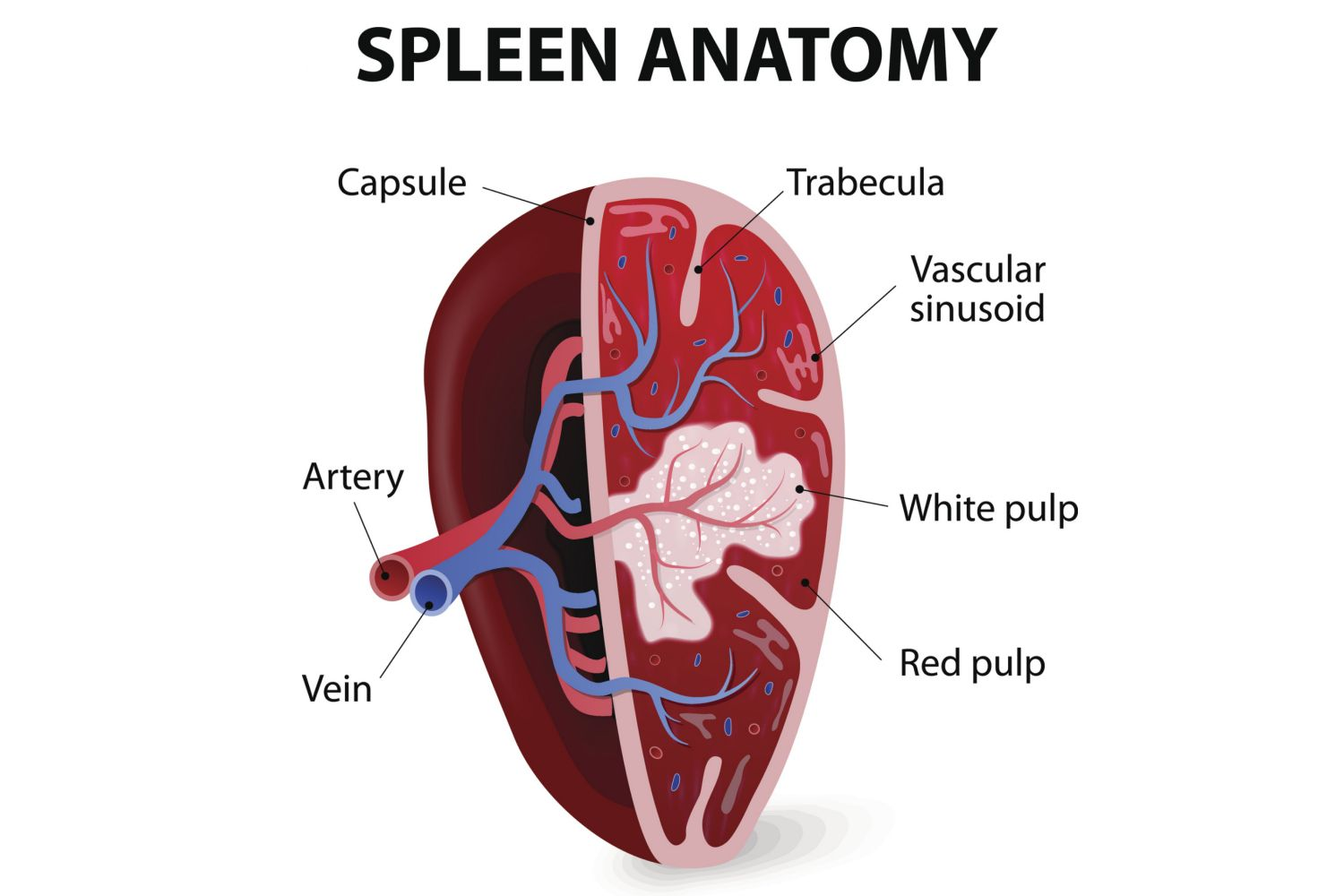 Spleen Anatomy And Function