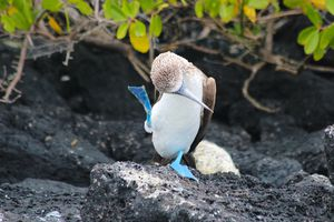 The Blue-Footed Booby performs its elaborate mating dance, complete with high kicks