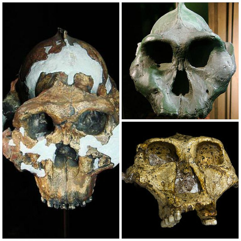There are three species of human ancestors in the Paranthropus genus