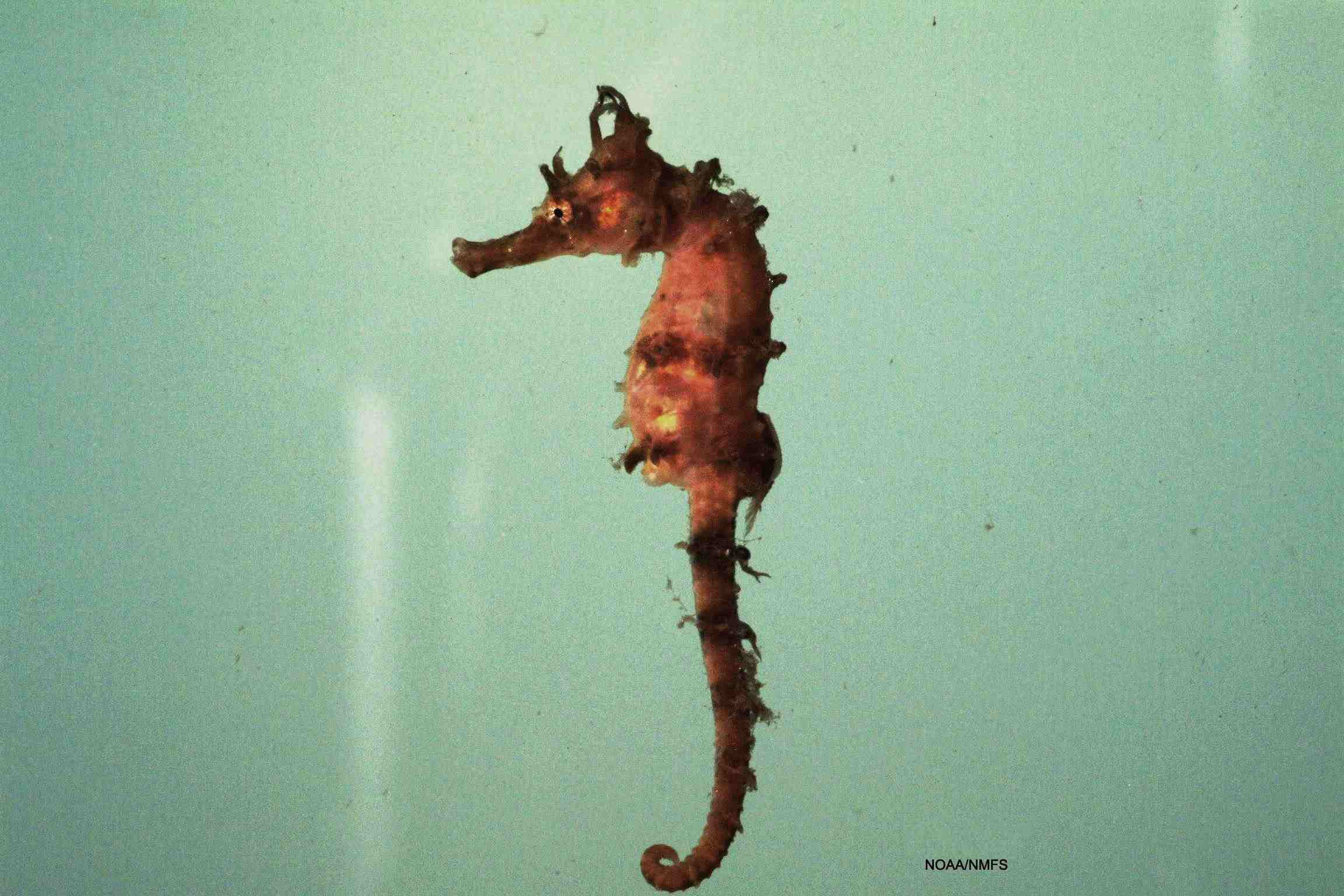 Lined Seahorse / SEFSC Pascagoula Laboratory; Collection of Brandi Noble, NOAA/NMFS/SEFSC