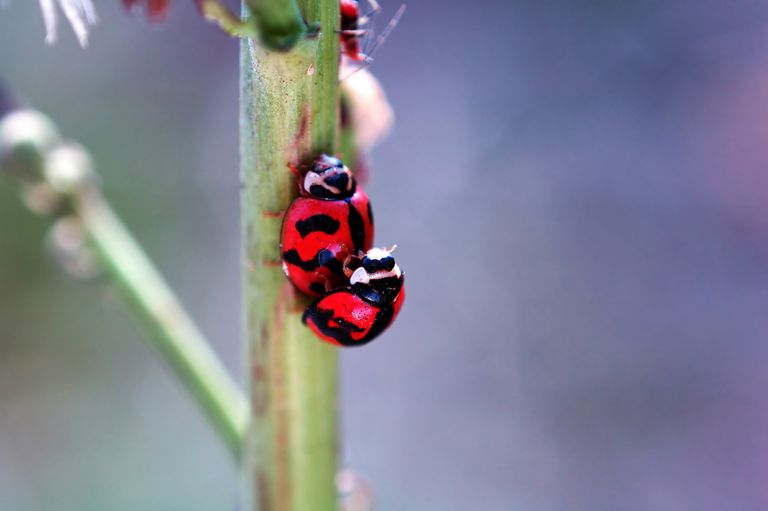 ladybugs mating on plant