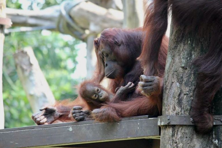 Orangutan with its young one