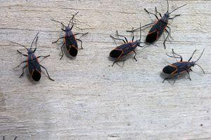 Box elder bugs on wooden surface
