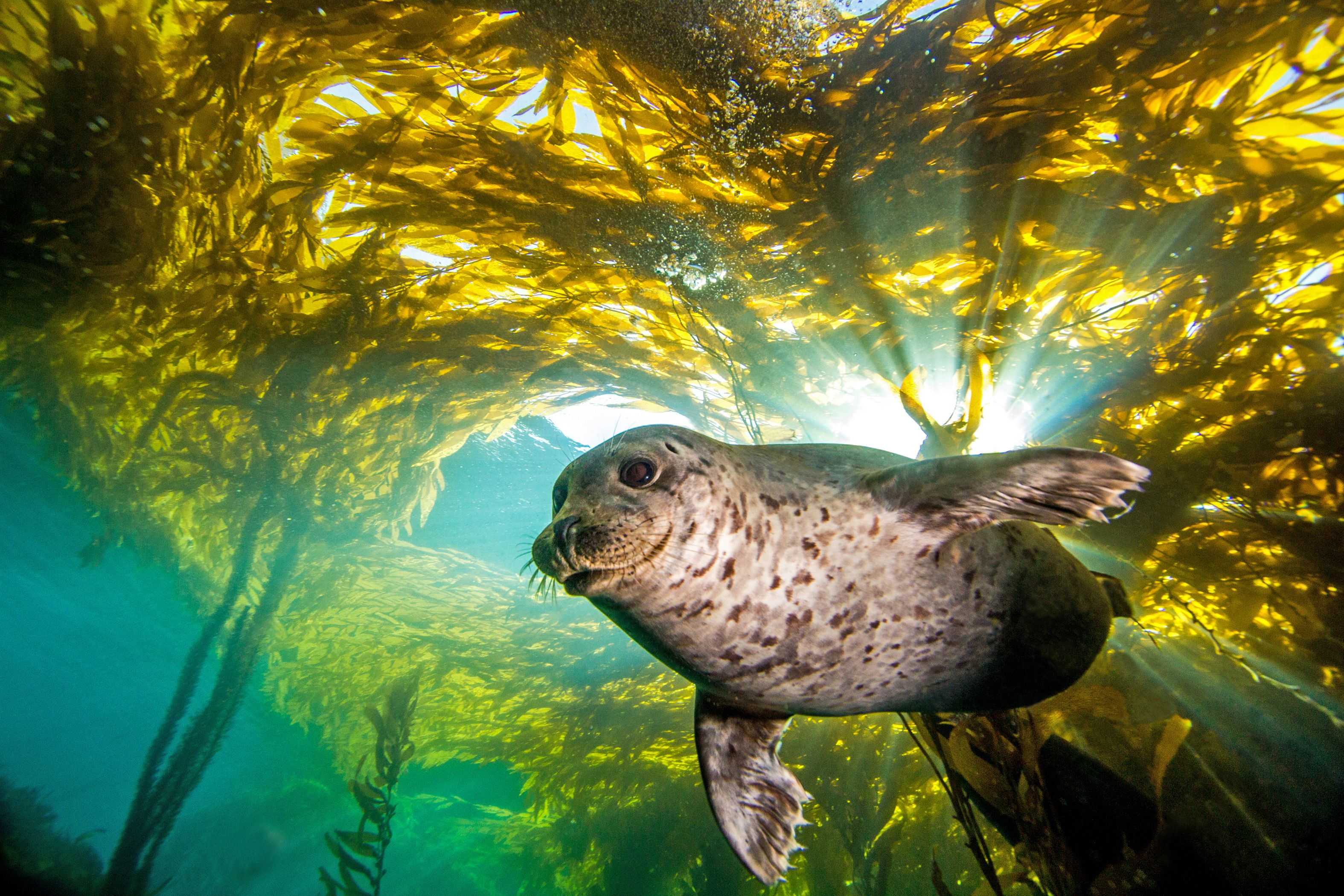 Underwater view of a habor seal swimming through a kelp forest.
