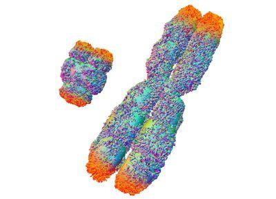 do sex chromosomes undergo meiosis steps in Honolulu