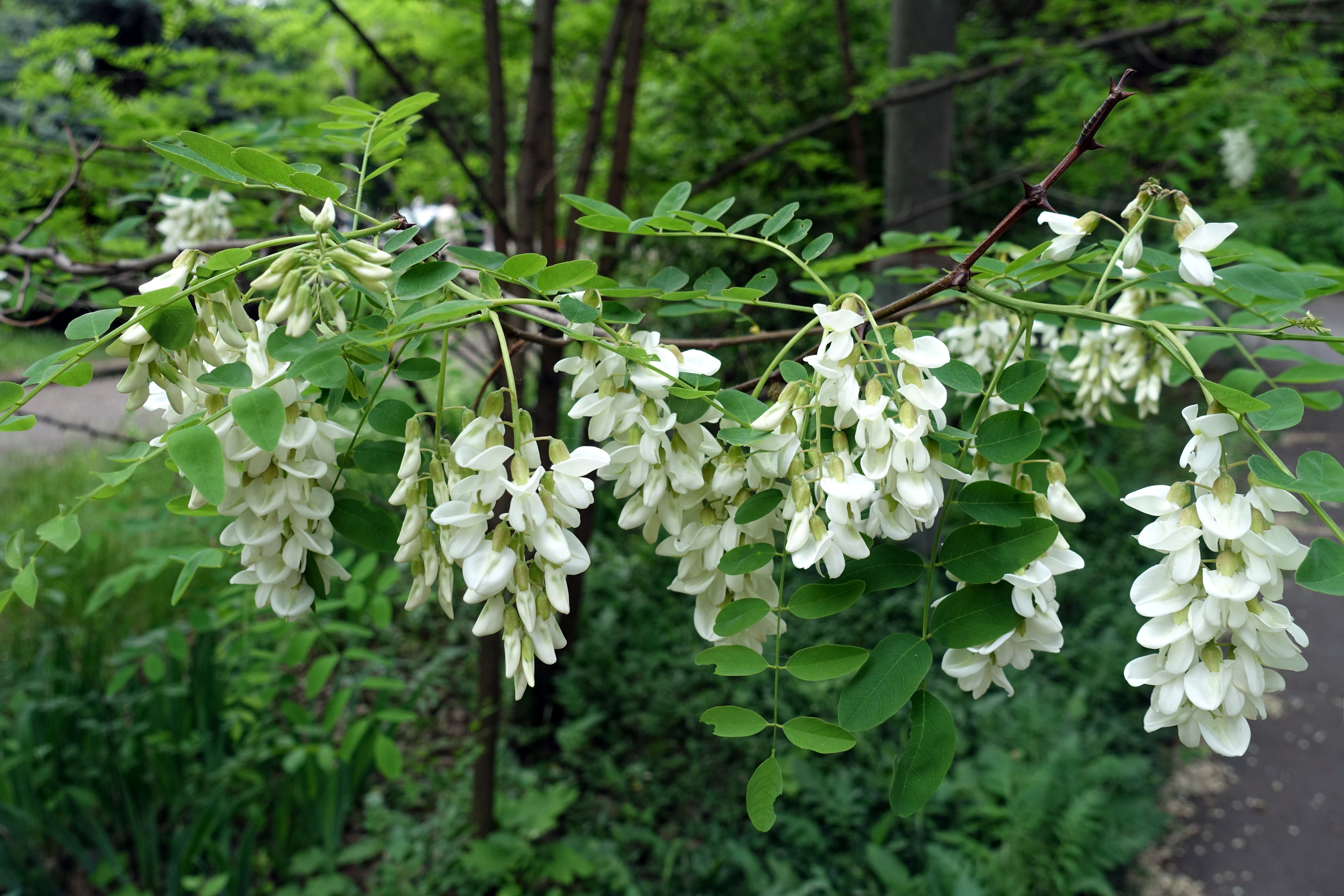 A branch of the black locust with white flowers in the spring