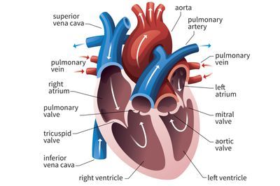 Anatomy of the heart diagram view how ventricles keep your heart pumping ccuart Gallery
