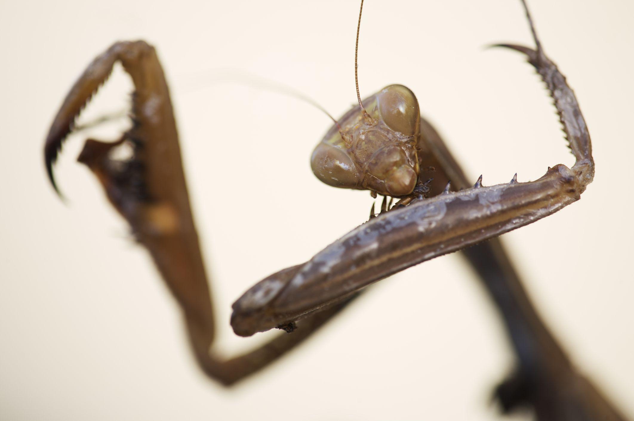 Close-up of a female European praying mantis (<i>Mantis religiosa</i>)