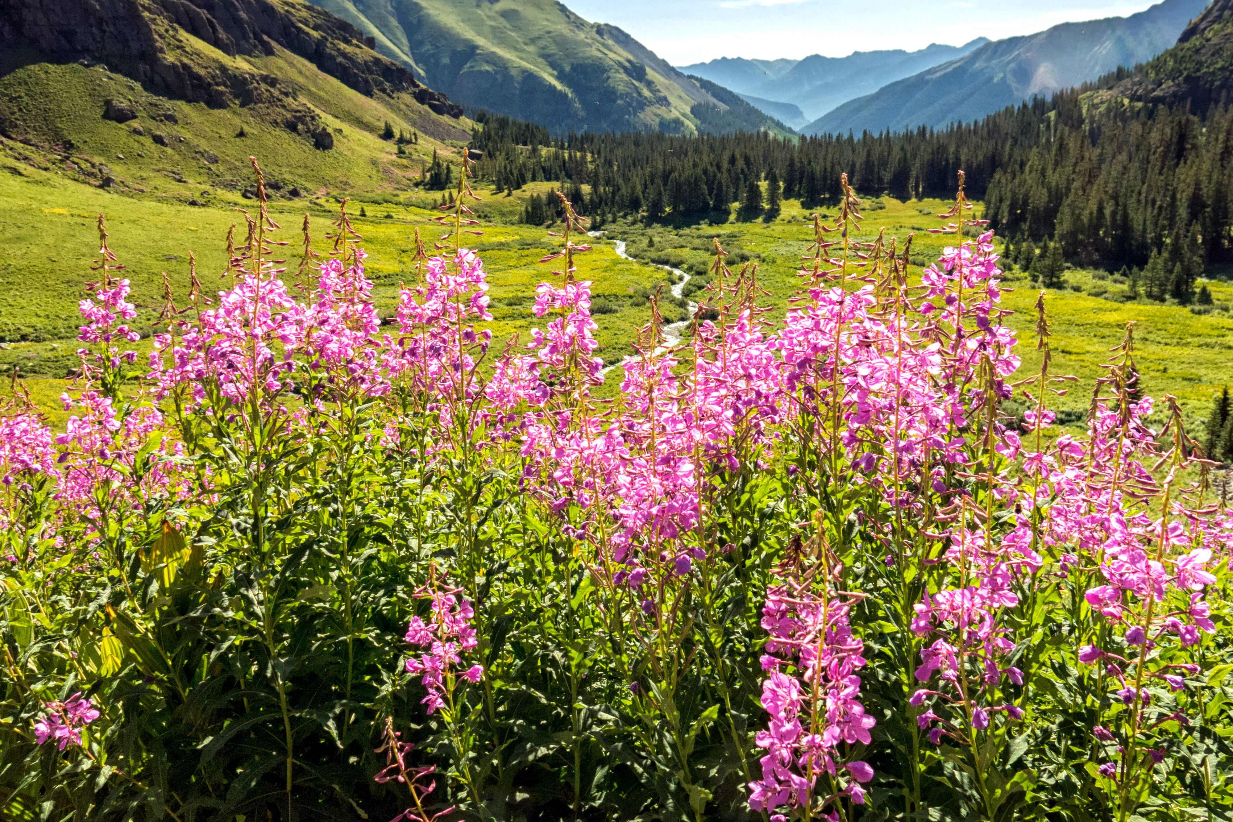 Fireweed wildflowers in Colorado mountains