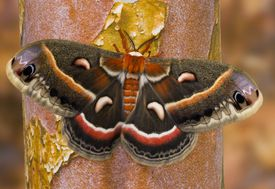 Cecropia moth on a tree trunk