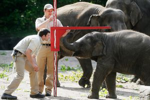 Baby elephant being measured at the Hamburg Zoo.