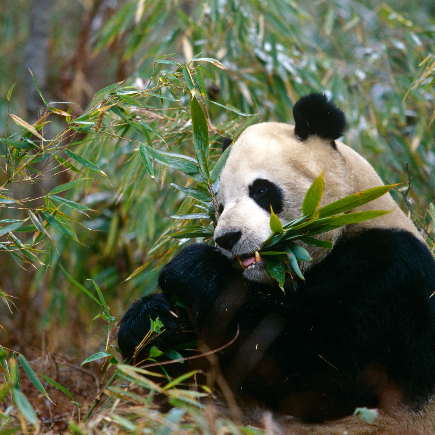 what is 99 of a giant pandas diet