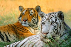 Close up of white and orange tigers lounging in grass.
