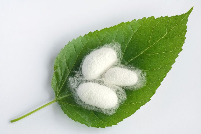 Silkworm cocoon on mulberry leaf