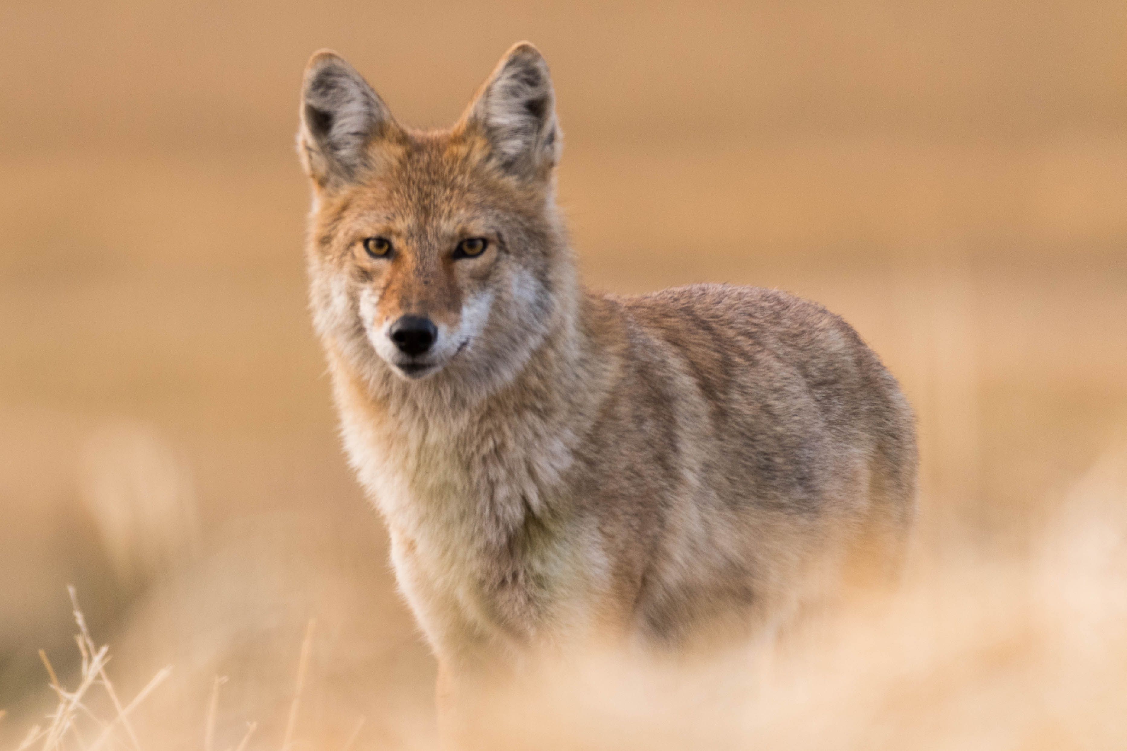 Coyote Facts Canis Latrans