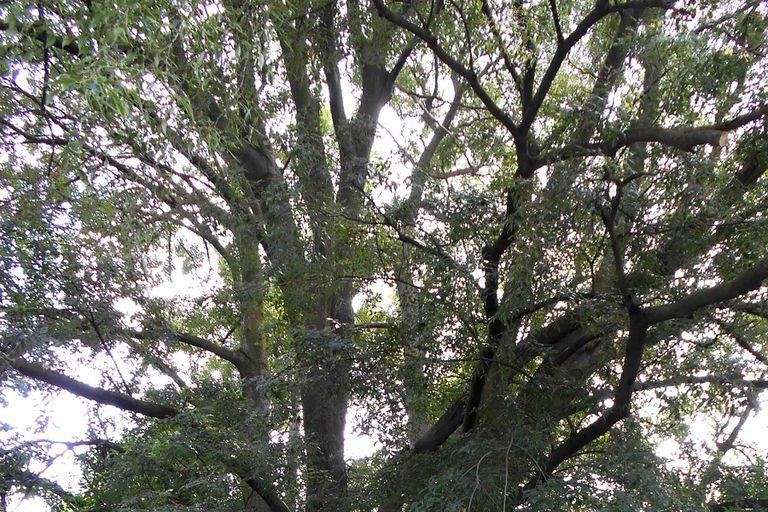 A hackberry tree.