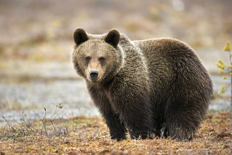 10 Essential Facts About Bears