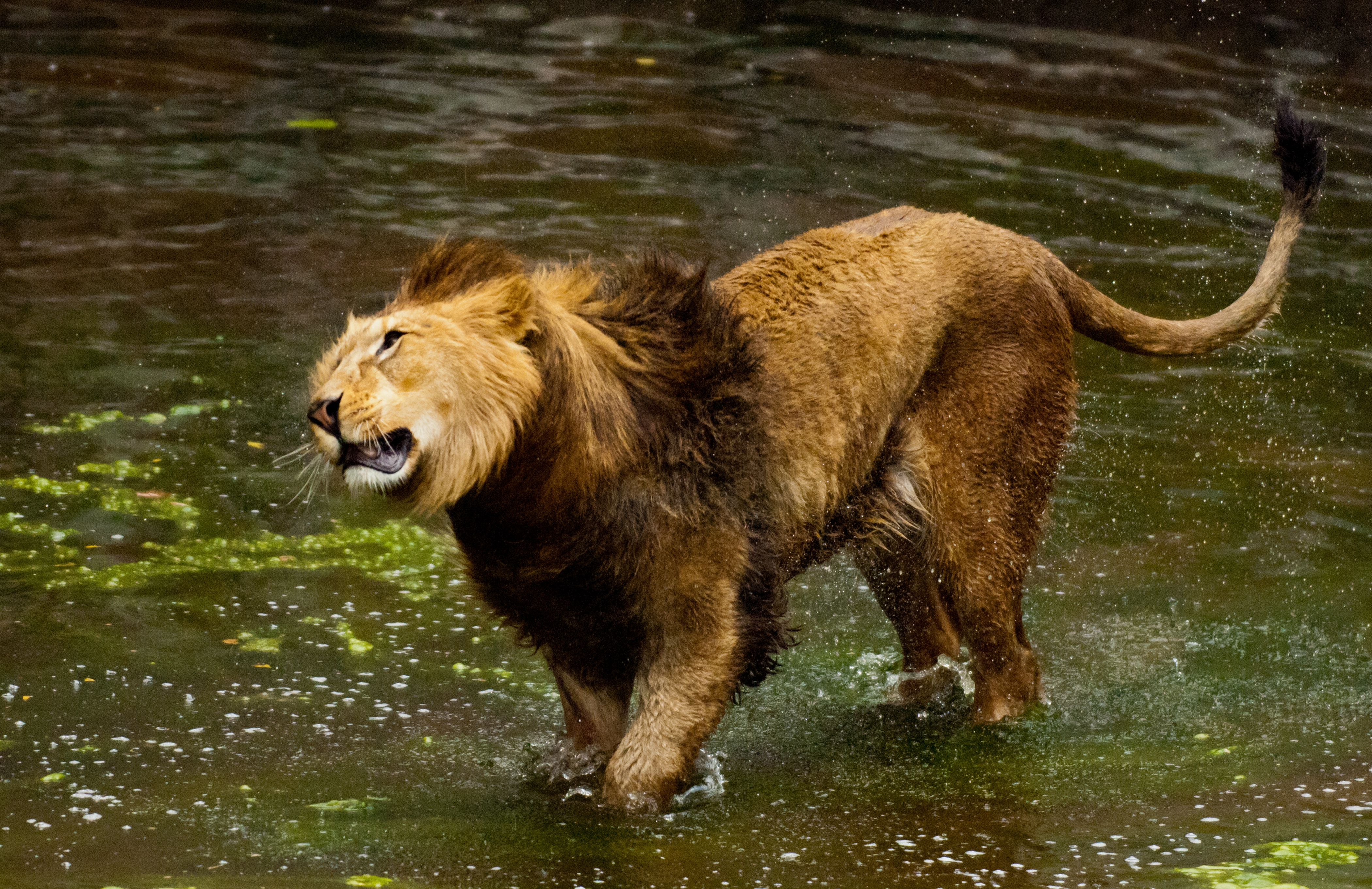 Barbary Lion in the water. Panthera leo leo. Extinct in the wild